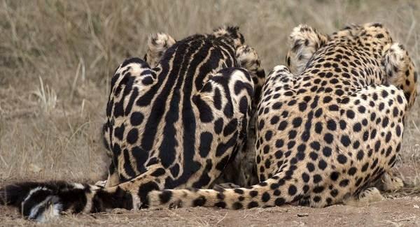Гепард-животное-Описание-особенности-виды-образ-жизни-и-среда-обитания-гепарда-10