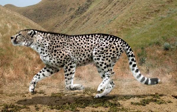 Гепард-животное-Описание-особенности-виды-образ-жизни-и-среда-обитания-гепарда-12