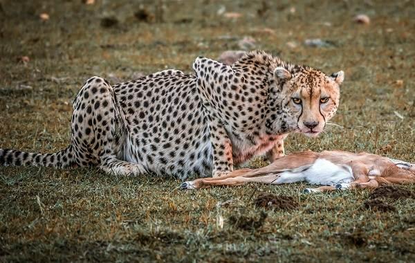 Гепард-животное-Описание-особенности-виды-образ-жизни-и-среда-обитания-гепарда-13