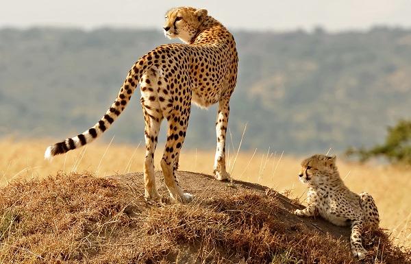 Гепард-животное-Описание-особенности-виды-образ-жизни-и-среда-обитания-гепарда-14