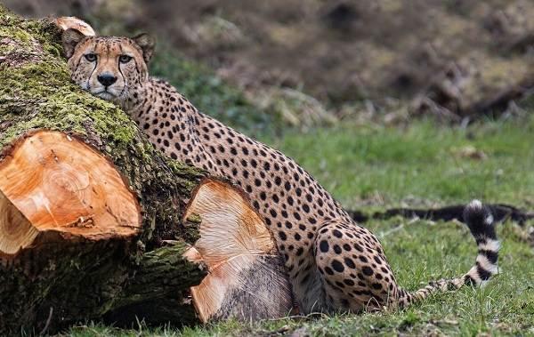 Гепард-животное-Описание-особенности-виды-образ-жизни-и-среда-обитания-гепарда-2