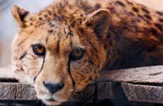 Гепард животное. Описание, особенности, виды, образ жизни и среда обитания гепарда