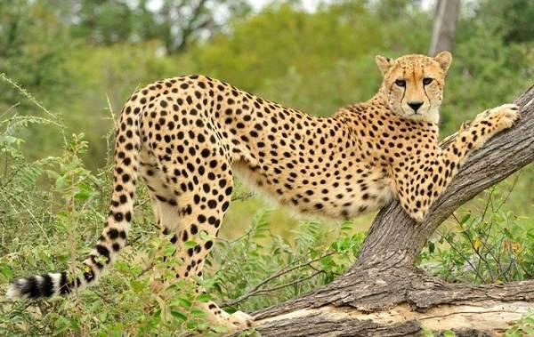 Гепард-животное-Описание-особенности-виды-образ-жизни-и-среда-обитания-гепарда-3