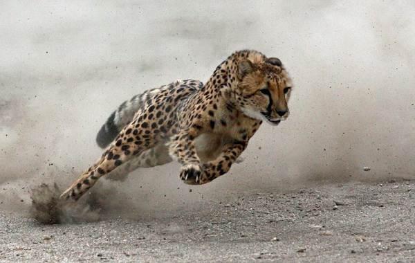 Гепард-животное-Описание-особенности-виды-образ-жизни-и-среда-обитания-гепарда-4