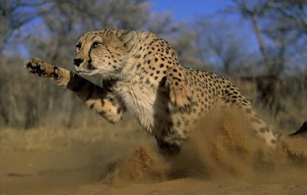 Гепард-животное-Описание-особенности-виды-образ-жизни-и-среда-обитания-гепарда-5
