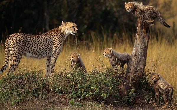 Гепард-животное-Описание-особенности-виды-образ-жизни-и-среда-обитания-гепарда-7