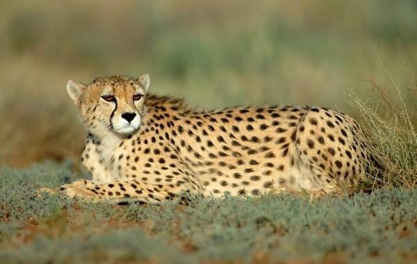 Гепард-животное-Описание-особенности-виды-образ-жизни-и-среда-обитания-гепарда-8