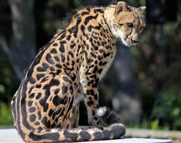 Гепард-животное-Описание-особенности-виды-образ-жизни-и-среда-обитания-гепарда-9