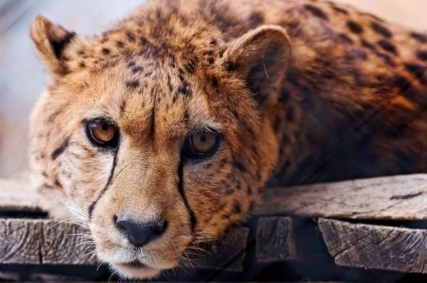 Гепард-животное-Описание-особенности-виды-образ-жизни-и-среда-обитания-гепарда