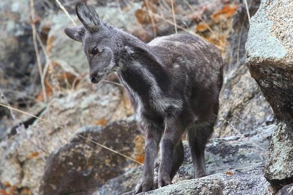 Кабарга-животное-описание-особенности-образ-жизни-и-среда-обитания-кабарги-1