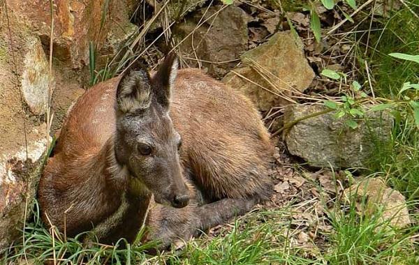 Кабарга-животное-описание-особенности-образ-жизни-и-среда-обитания-кабарги-10