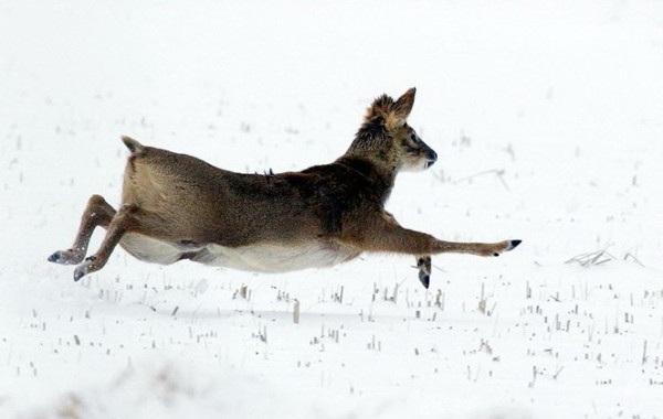 Кабарга-животное-описание-особенности-образ-жизни-и-среда-обитания-кабарги-12