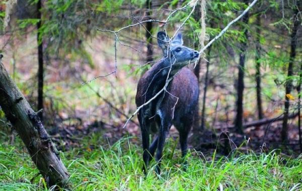 Кабарга-животное-описание-особенности-образ-жизни-и-среда-обитания-кабарги-13