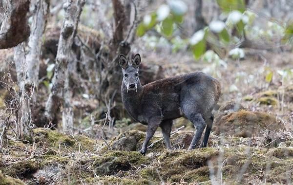 Кабарга-животное-описание-особенности-образ-жизни-и-среда-обитания-кабарги-2