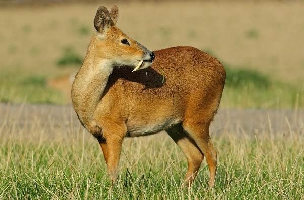 Кабарга-животное-описание-особенности-образ-жизни-и-среда-обитания-кабарги-3