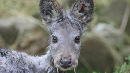 Кабарга животное. описание, особенности, образ жизни и среда обитания кабарги