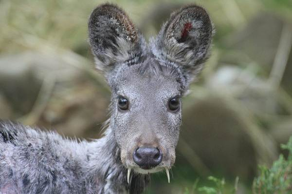 Кабарга-животное-описание-особенности-образ-жизни-и-среда-обитания-кабарги-4