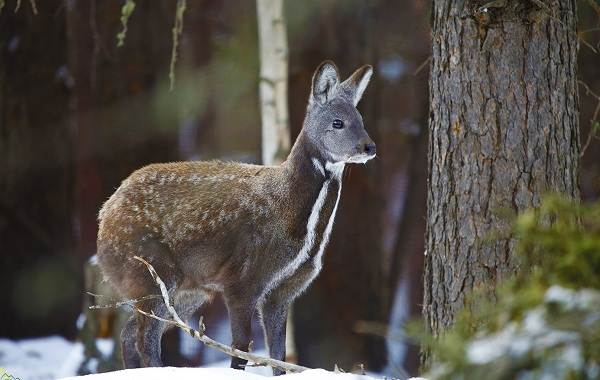Кабарга-животное-описание-особенности-образ-жизни-и-среда-обитания-кабарги-6