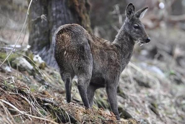 Кабарга-животное-описание-особенности-образ-жизни-и-среда-обитания-кабарги-7