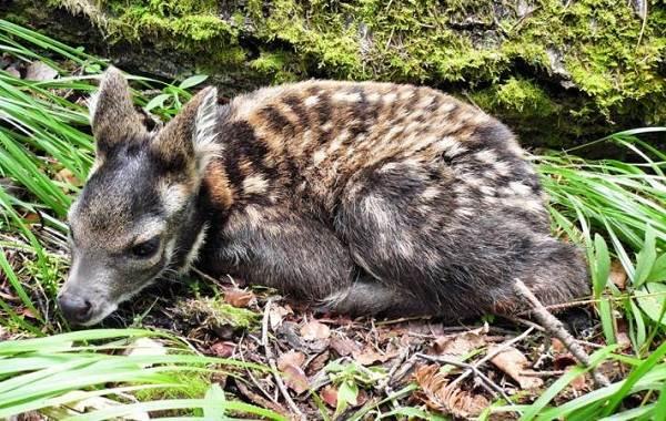 Кабарга-животное-описание-особенности-образ-жизни-и-среда-обитания-кабарги-8