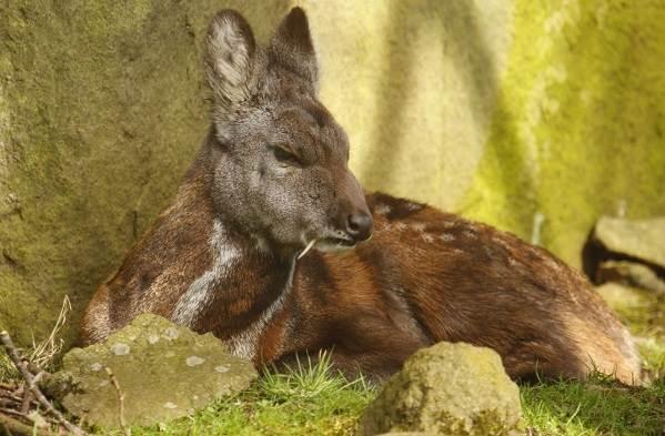 Кабарга-животное-описание-особенности-образ-жизни-и-среда-обитания-кабарги-9