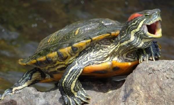 Красноухая-черепаха-Описание-особенности-виды-образ-жизни-и-среда-обитания-1