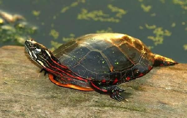 Красноухая-черепаха-Описание-особенности-виды-образ-жизни-и-среда-обитания-10