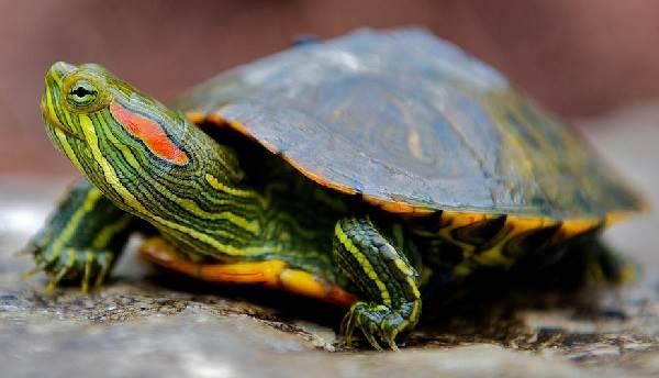 Красноухая-черепаха-Описание-особенности-виды-образ-жизни-и-среда-обитания-2