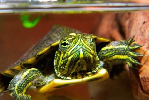 Красноухая-черепаха-Описание-особенности-виды-образ-жизни-и-среда-обитания-4