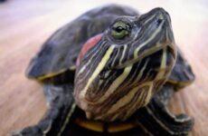 Красноухая черепаха. Описание, особенности, виды, образ жизни и среда обитания