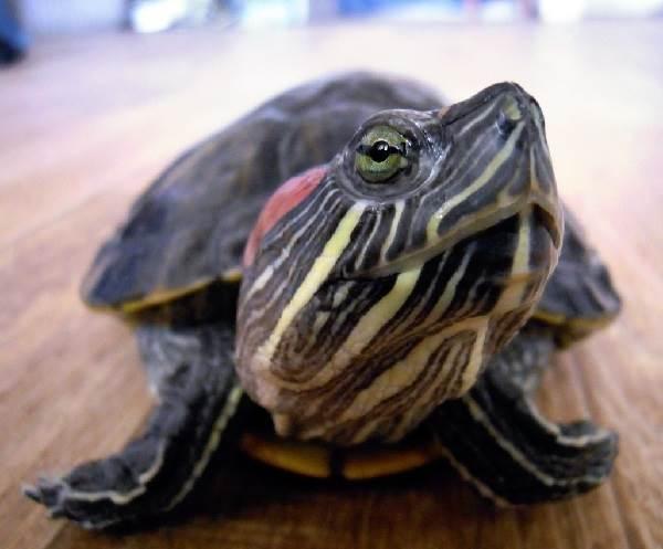 Красноухая-черепаха-Описание-особенности-виды-образ-жизни-и-среда-обитания-5