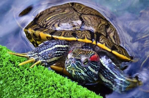 Красноухая-черепаха-Описание-особенности-виды-образ-жизни-и-среда-обитания-6