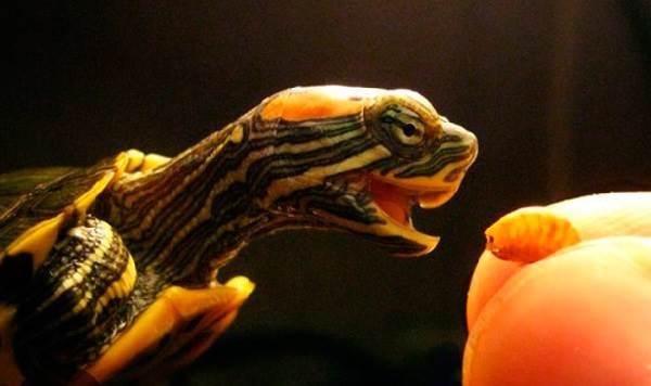 Красноухая-черепаха-Описание-особенности-виды-образ-жизни-и-среда-обитания-8