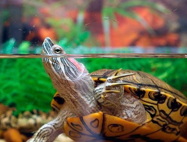 Красноухая-черепаха-Описание-особенности-виды-образ-жизни-и-среда-обитания-9