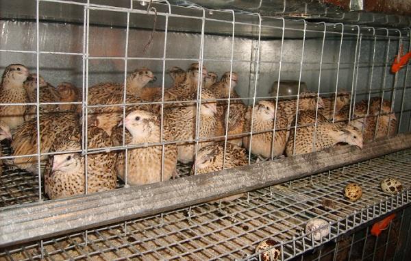 Куропатка-птица-Описание-особенности-виды-образ-жизни-и-среда-обитания-куропатки-121