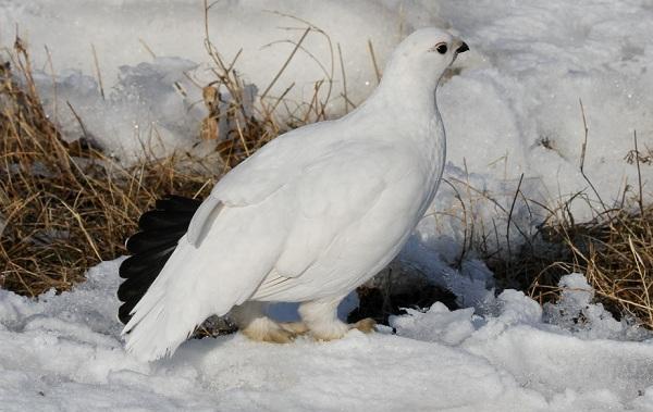 Куропатка-птица-Описание-особенности-виды-образ-жизни-и-среда-обитания-куропатки-12