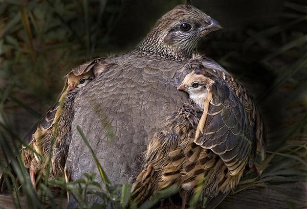 Куропатка-птица-Описание-особенности-виды-образ-жизни-и-среда-обитания-куропатки-14