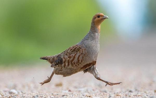 Куропатка-птица-Описание-особенности-виды-образ-жизни-и-среда-обитания-куропатки-16