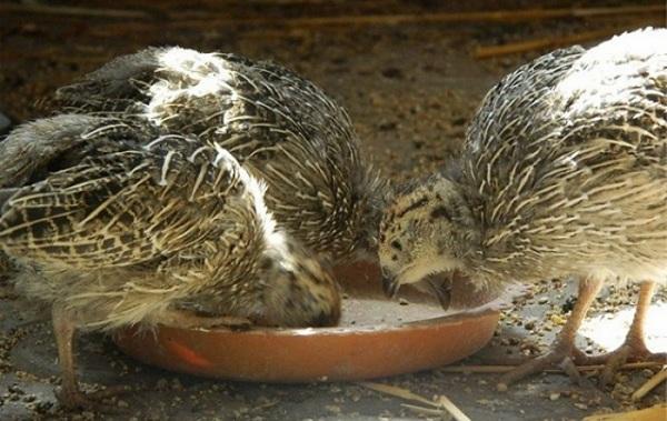 Куропатка-птица-Описание-особенности-виды-образ-жизни-и-среда-обитания-куропатки-17