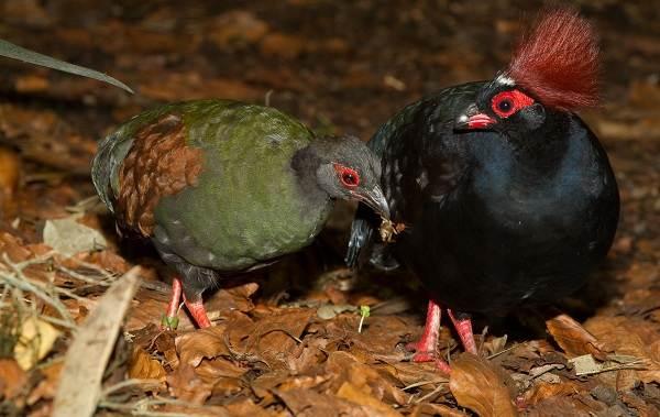 Куропатка-птица-Описание-особенности-виды-образ-жизни-и-среда-обитания-куропатки-19