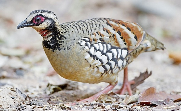 Куропатка-птица-Описание-особенности-виды-образ-жизни-и-среда-обитания-куропатки-21