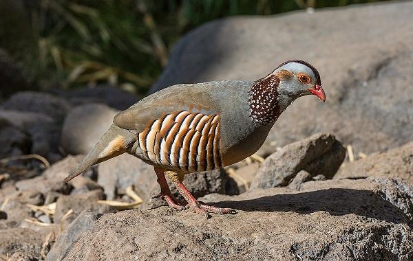 Куропатка-птица-Описание-особенности-виды-образ-жизни-и-среда-обитания-куропатки-22