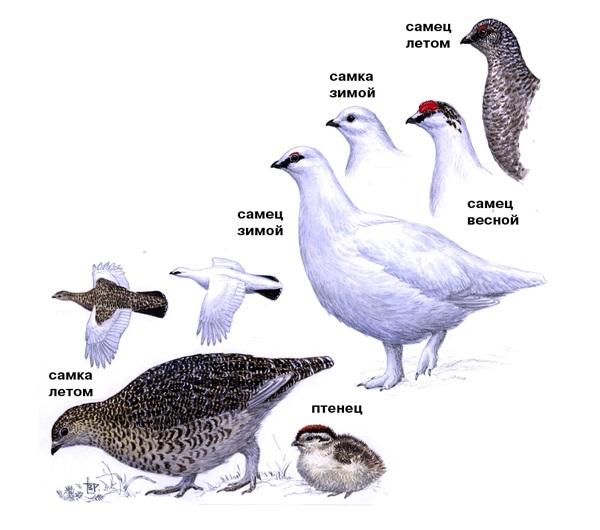 Куропатка-птица-Описание-особенности-виды-образ-жизни-и-среда-обитания-куропатки-27