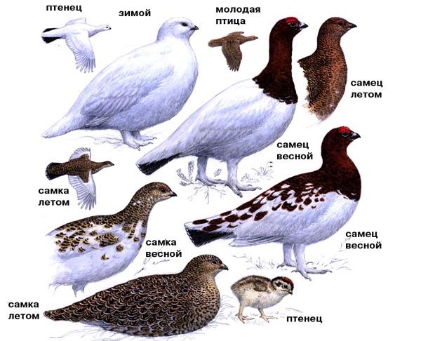 Куропатка-птица-Описание-особенности-виды-образ-жизни-и-среда-обитания-куропатки-28