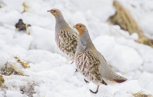 Куропатка-птица-Описание-особенности-виды-образ-жизни-и-среда-обитания-куропатки-6
