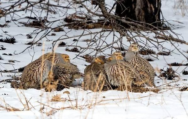 Куропатка-птица-Описание-особенности-виды-образ-жизни-и-среда-обитания-куропатки-8