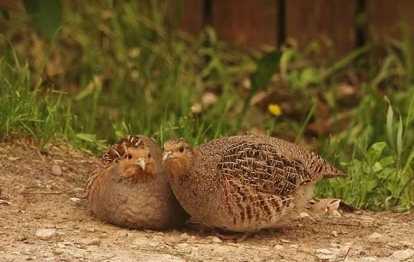 Куропатка-птица-Описание-особенности-виды-образ-жизни-и-среда-обитания-куропатки-9
