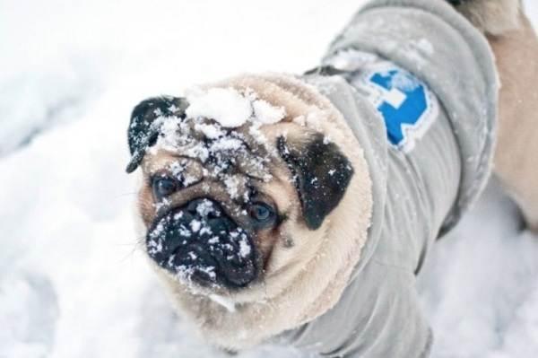 Мопс-собака-Описание-особенности-уход-и-содержание-мопса-10