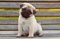 Мопс собака. Описание, особенности, уход и содержание мопса
