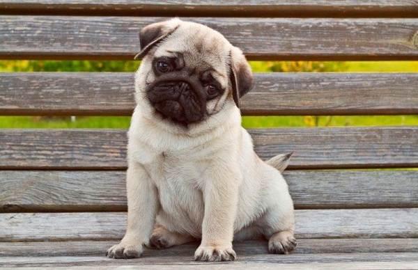 Мопс-собака-Описание-особенности-уход-и-содержание-мопса-15